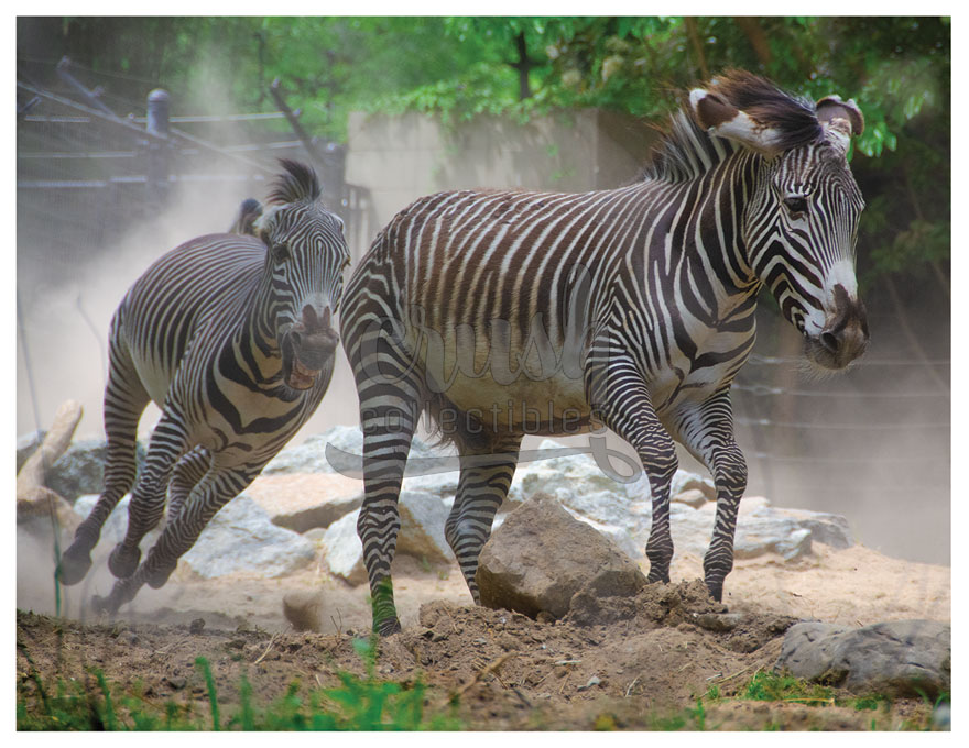 Zebra Stampede Photo [210809-0002]